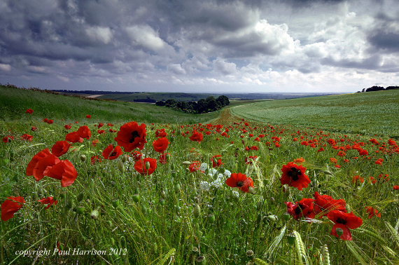 Poppy field, Sussex