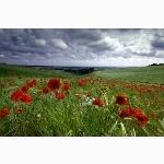 Poppy field, Sussex