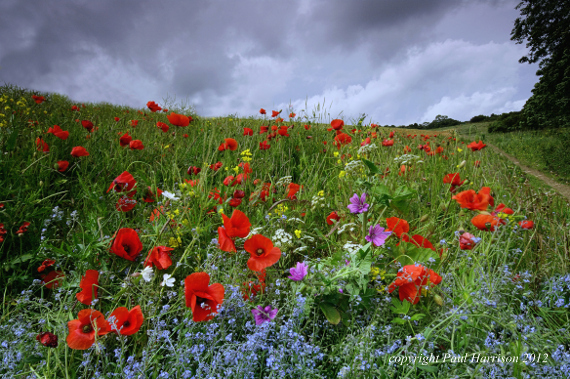 Wild flowers, Sussex
