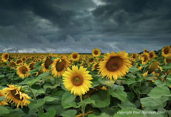 Field of sunflowers in Hungary