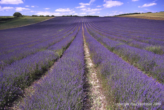 Field of lavender, Lordington, Sussex