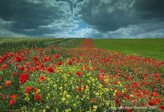 Field of poppies, Kithurst