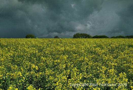 Rapeseed, Kithurst, Sussex