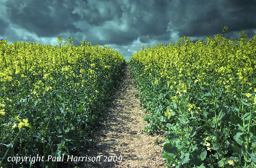 Rapeseed, Pulborough, Sussex