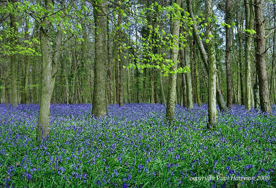 Bluebells, Sussex