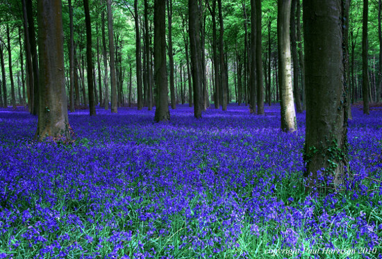 Bluebells in Angmering, Sussex