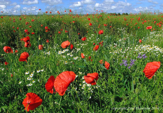 Poppies, Newick, Sussex